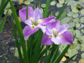 Purple Iris.jpg (70338 bytes)